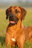 Rhodesian ridgeback female Stock Photography