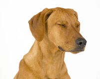 Rhodesian Ridgeback female dog, 5 month old Stock Images