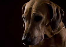 Rhodesian ridgeback female dog 8,lowkey headshoot Stock Photo