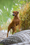 Rhodesian Ridgeback Female royalty free stock photos