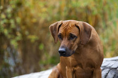 Rhodesian Ridgeback Female Stock Photos
