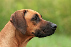 Rhodesian Ridgeback Female Portrait Stock Photos