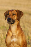 Rhodesian Ridgeback Female Portrait Stock Images