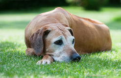 Rhodesian Ridgeback female 11 years old. An adorable african Rhodesian Ridgeback female lying in the grass outside. She is relaxed an enjoying life. The old dog stock images