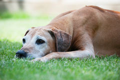 Rhodesian Ridgeback female 11 years old Royalty Free Stock Image
