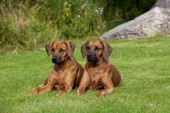 Rhodesian Ridgeback Females stock photo