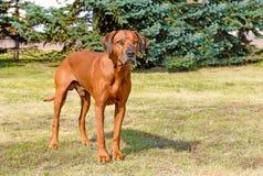 Rhodesian Ridgeback full face. Rhodesian Ridgeback stands on the grass in the park stock photo