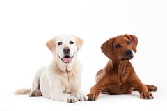 Rhodesian Ridgeback and golden retriever. Happy dog photographed in the studio on a white background royalty free stock image