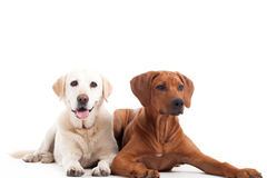Rhodesian Ridgeback and golden retriever. Happy dog photographed in the studio on a white background royalty free stock images
