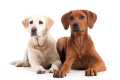 Rhodesian Ridgeback and golden retriever on white. Happy dog photographed in the studio on a white background royalty free stock images