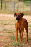 Rhodesian Ridgeback on guard Stock Image