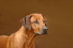 Rhodesian Ridgeback on guard Royalty Free Stock Image