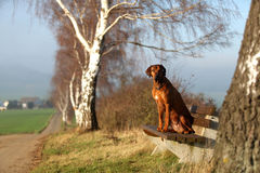 A Rhodesian Ridgeback. A gundog (bitch) sitting on a bench stock images