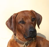 Rhodesian Ridgeback head Royalty Free Stock Photos