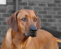 Rhodesian Ridgeback Head Shot Stock Photos