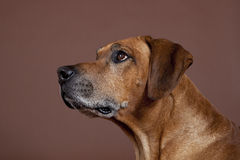 Rhodesian Ridgeback Hound Dog Royalty Free Stock Images