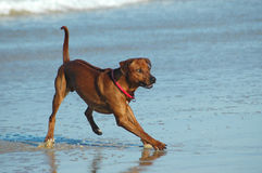 Rhodesian Ridgeback Hound Dog. An active male Rhodesian Ridgeback hound dog running on the beach in the summertime Stock Photos