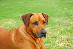 Rhodesian Ridgeback hound dog Royalty Free Stock Image