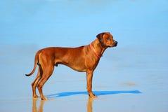 Rhodesian Ridgeback hound dog Stock Image