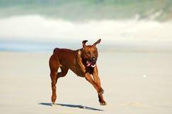 Rhodesian Ridgeback hund Fotografering för Bildbyråer