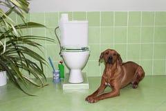 Rhodesian Ridgeback Hund im Badezimmer mit Toilette lizenzfreies stockfoto