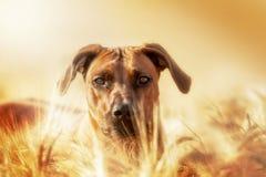 Rhodesian Ridgeback hund som ut ser cornfielden Royaltyfri Fotografi