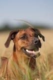 Rhodesian Ridgeback hund som ut ser cornfielden Fotografering för Bildbyråer