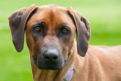 Rhodesian Ridgeback Royalty Free Stock Photo