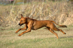 Rhodesian ridgeback jumping. Young Rhodesian ridgeback jumping across the field with speed and power while playing royalty free stock image