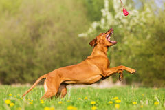 Rhodesian ridgeback jumping for a toy. Picture of a Rhodesian ridgeback jumping for a toy Royalty Free Stock Photos