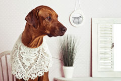 Rhodesian Ridgeback lady-dog  in front of a vanity. Rhodesian Ridgeback dog dressed like a lady in front of a vanity Stock Image