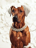 Rhodesian Ridgeback lady-dog in front of a vanity. Rhodesian Ridgeback dog dressed like a lady in front of a vanity Stock Images
