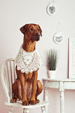 Rhodesian Ridgeback lady-dog lady sitting in of vanity. Rhodesian Ridgeback dog dressed like a lady sitting on chair in front of a vanity Royalty Free Stock Photo