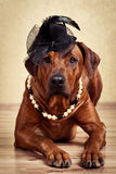 Rhodesian Ridgeback lady dressed in black hat and pearl necklace. On a golden background Royalty Free Stock Image