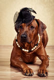 Rhodesian Ridgeback lady dressed in black hat and pearl necklace. Lying on the floor on a golden background Royalty Free Stock Image