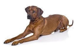 Rhodesian Ridgeback laying Stock Photography