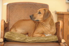 Rhodesian Ridgeback laying on chair. Rhodesian Ridgeback laying on a chair an love this place royalty free stock photography