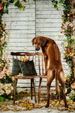 Rhodesian Ridgeback leaning on a chair backwards showing its rid. Ge Stock Photos
