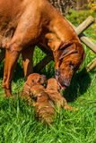 Rhodesian Ridgeback licking her puppies. Beautiful large Rhodesian Ridgeback dog standing above her three 3-week-old puppies licking and cleaning one of them Royalty Free Stock Images