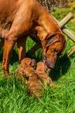 Rhodesian Ridgeback licking her puppies Royalty Free Stock Images