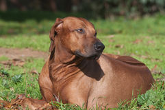 Rhodesian ridgeback lies on grass Royalty Free Stock Photography