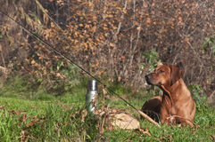 Rhodesian ridgeback lies on grass near fly fishing tackle Stock Photography