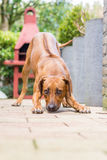 Rhodesian Ridgeback Stock Photos