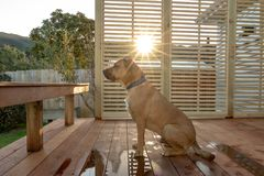 Rhodesian Ridgeback Sitting On Deck As Sun Sets stock image
