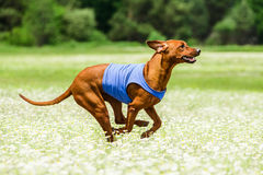 Rhodesian Ridgeback lure coursing competition. At chamomile field Royalty Free Stock Image