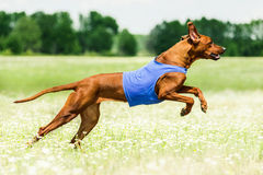 Rhodesian Ridgeback lure coursing competition. At chamomile field Royalty Free Stock Photography