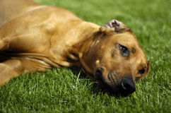 Rhodesian ridgeback lying. Cute rhodesian ridgeback head lying in the green grass looking sweet stock photos