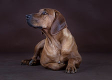Rhodesian Ridgeback. Lying down in front of the camera Royalty Free Stock Image