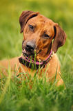 Rhodesian Ridgeback lying on the grass Stock Images