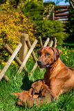 Rhodesian Ridgeback lying with her puppies on grass. Beautiful large Rhodesian Ridgeback dog lying with her litter of three 3-week-old puppies on the green grass Royalty Free Stock Images